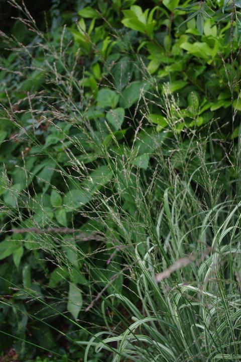 Molinia caerulea subsp. arundinacea 'Js Mostenveld'