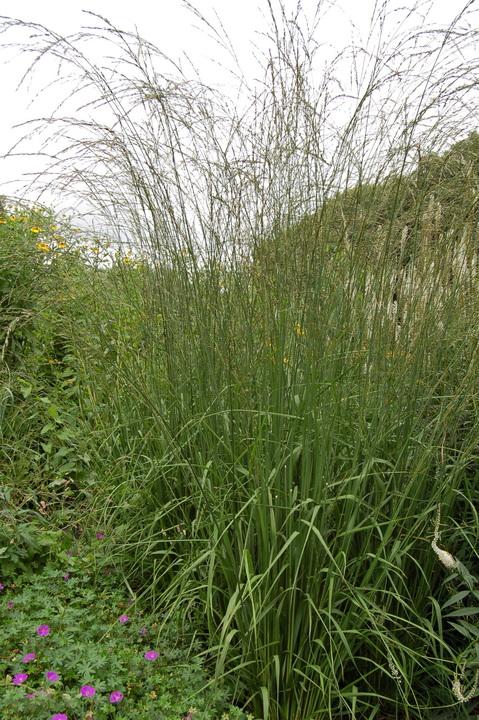 Molinia caerulea subsp. arundinacea 'Cordoba'