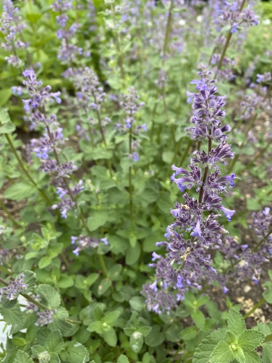 Nepeta grandiflora 'Summer Magic'