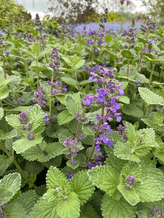 Nepeta 'Hill Grounds'