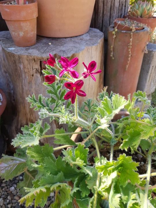 Pelargonium x schottii