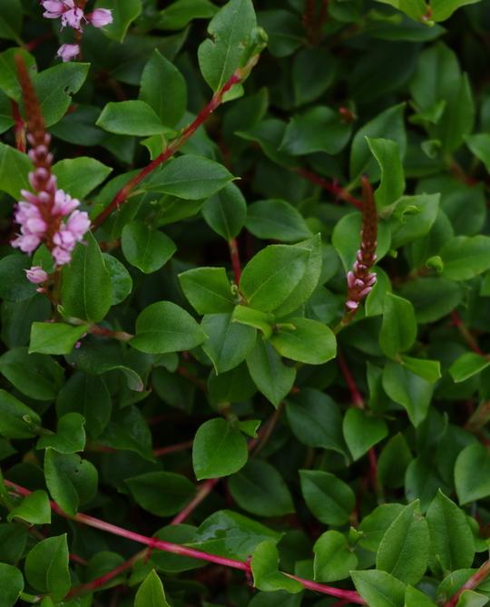 Persicaria vaccinifolia
