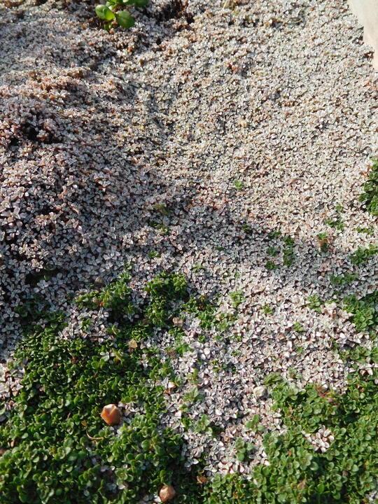 Raoulia australis Lutescens Group