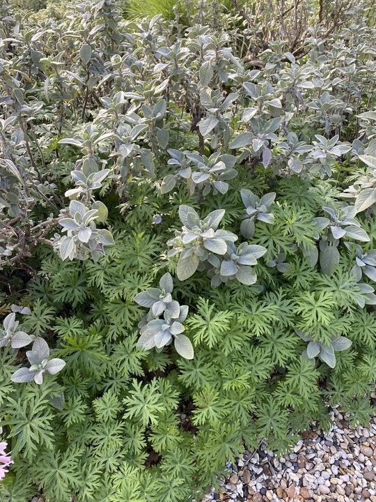 Salvia officinalis 'Berggarten'