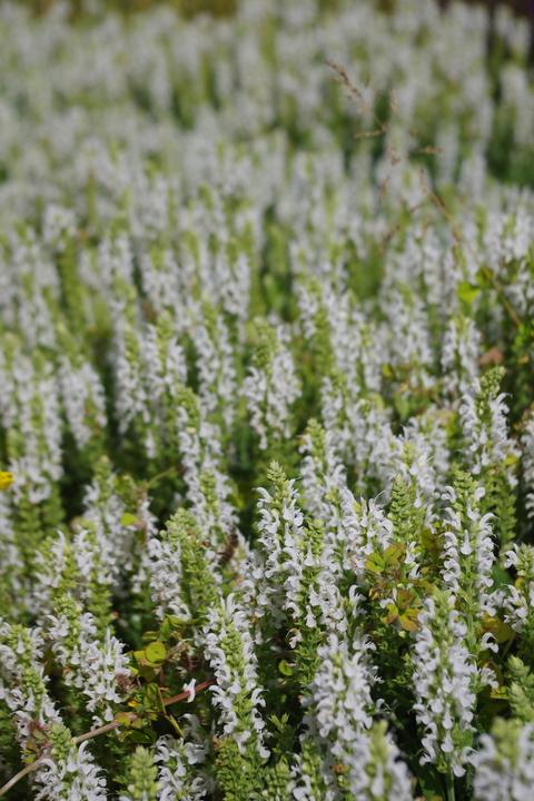 Salvia x sylvestris 'Schneehügel'