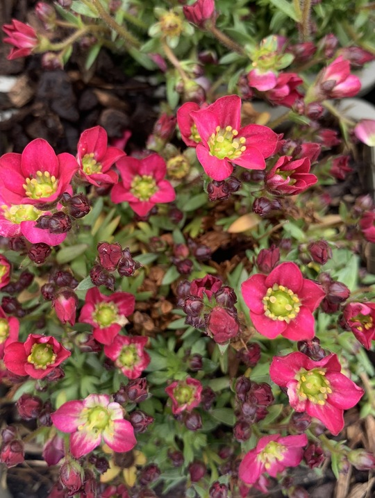 Saxifraga arendsii 'Scenic Red'