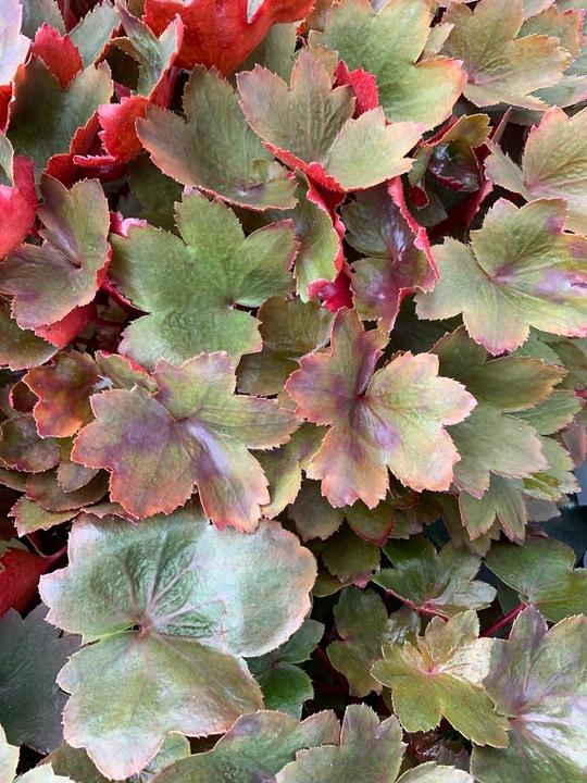 Saxifraga 'Rubrifolia' (fortunei)