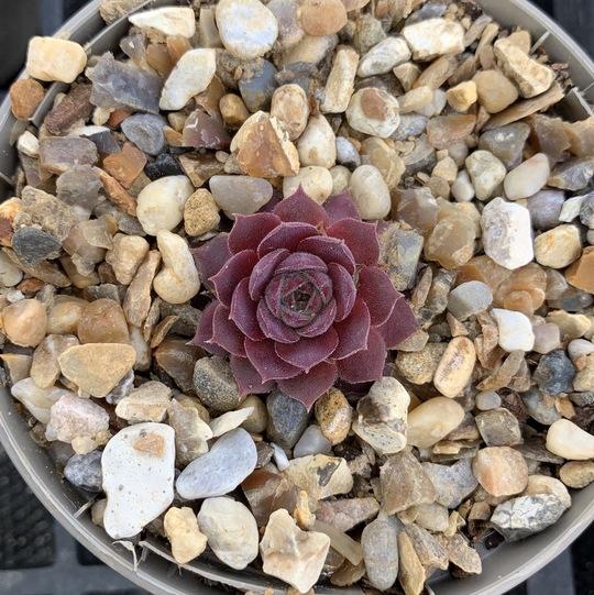 Sempervivum 'Violet Queen'