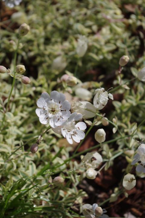 Silene uniflora 'Druett's Variegated'