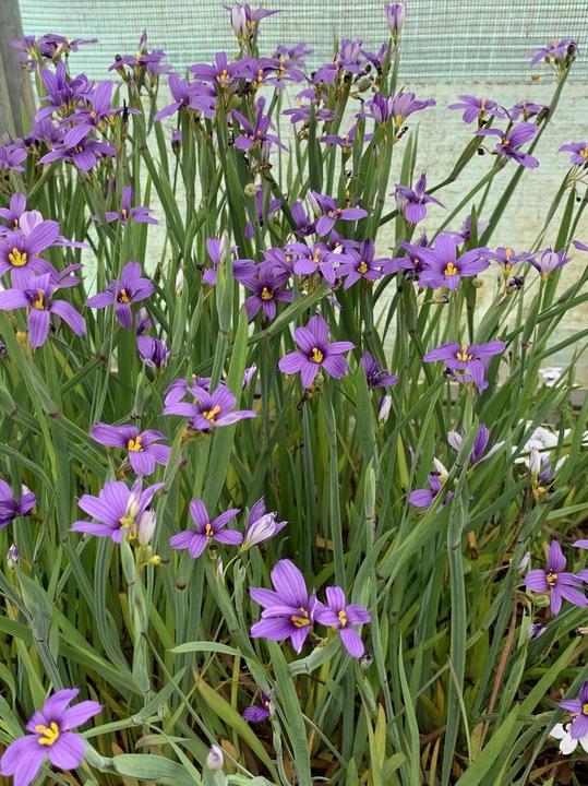 Sisyrinchium idahoense var. macounii 'Moody Blues'