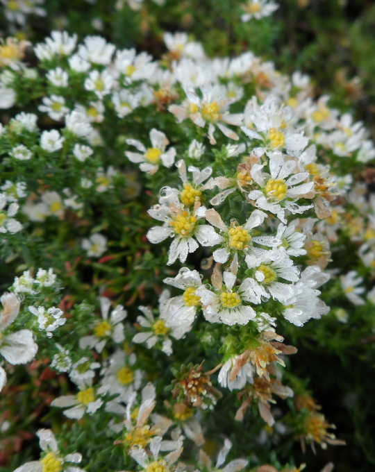 Symphyotrichum ericoides var. prostratum 'Snow Flurry'