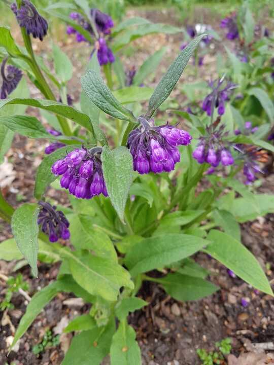 Symphytum x uplandicum 'Moorland Heather'