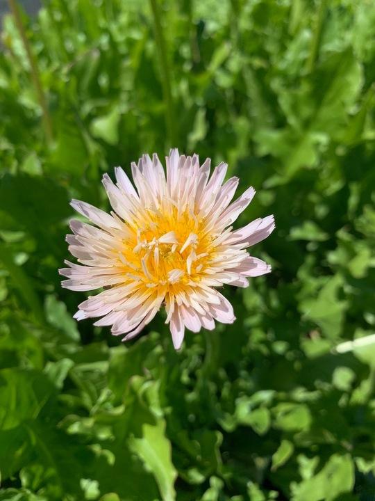 Taraxacum pseudoroseum