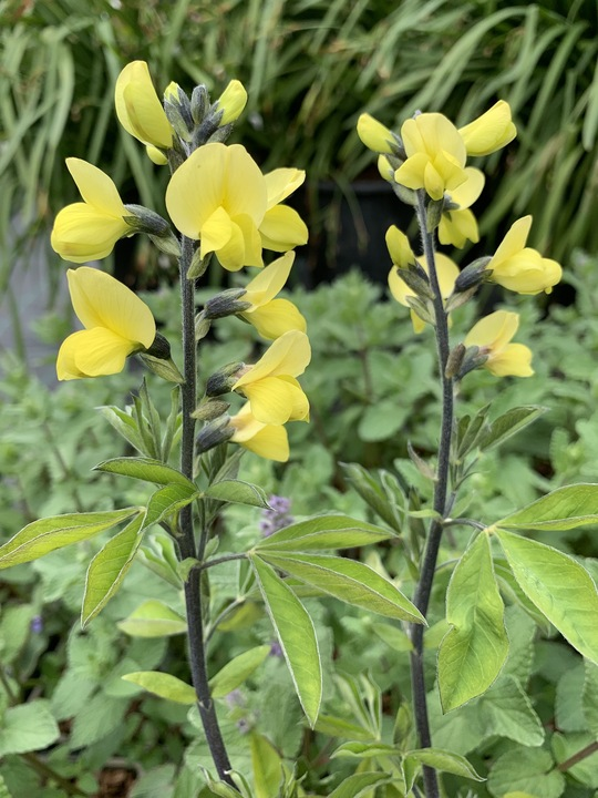 Thermopsis chinensis