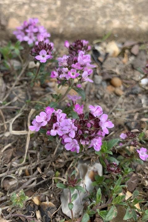 Thymus ex. Blooms