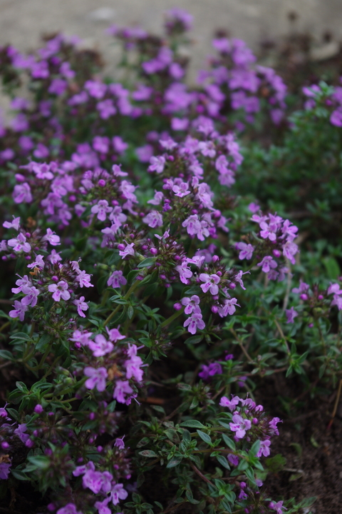Thymus herba barona 'Caraway-scented'