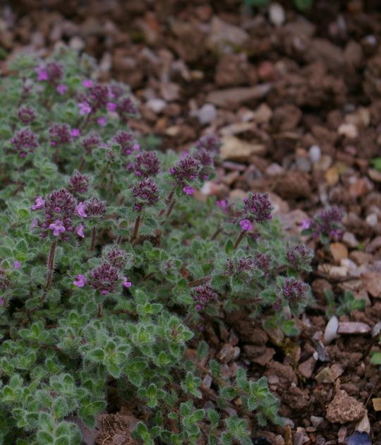 Thymus polytrichus subsp. britannicus