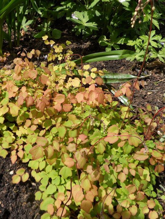 Vancouveria chrysantha