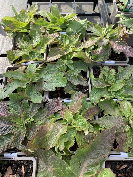 Verbascum phoeniceum 'Rosetta'