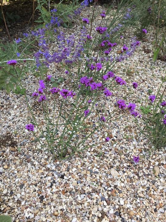 Verbena bonariensis 'Little One'
