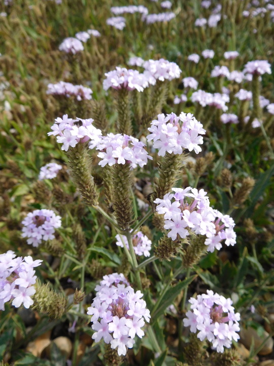Verbena rigida f. lilacina 'Polaris'