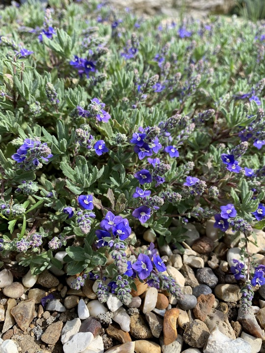 Veronica thymoides subsp. thymoides
