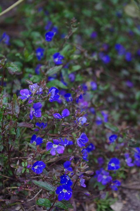 Veronica umbrosa 'Georgia Blue'