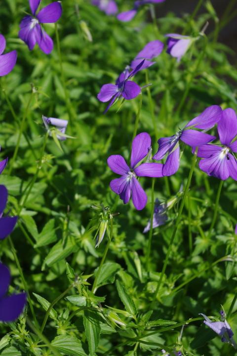 Viola cornuta Lilacina Group