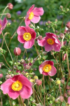 Anemone - Border forms