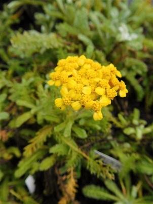 Achillea Rock garden types