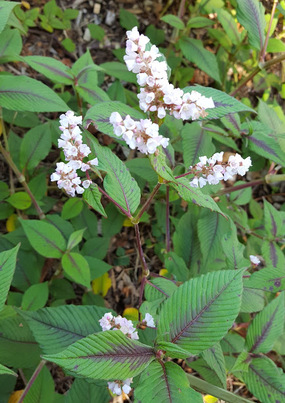 Persicaria for shade