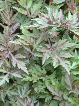 Artemisia for damp soils