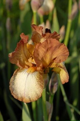 Iris for dry soils