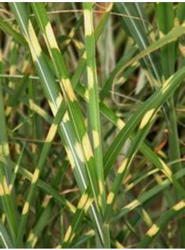 Miscanthus sinensis 'Hinjo'