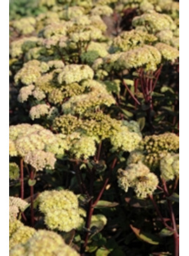 Hylotelephium 'Stewed Rhubarb Mountain'
