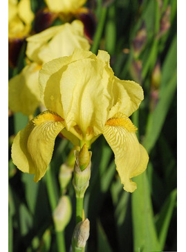 Iris 'Benton Apollo'