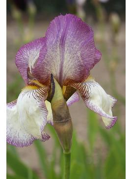 Iris 'Benton Lorna'