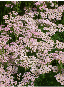 Achillea millefolium 'Lilac Beauty'