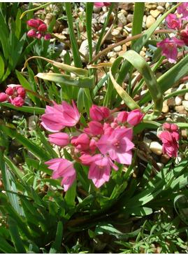 Allium oreophilum