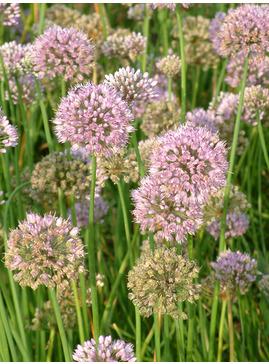 Allium lusitanicum
