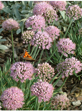 Allium senescens subsp. glaucum