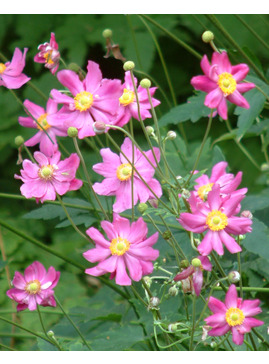 Anemone hupehensis var. japonica 'Prinz Heinrich'
