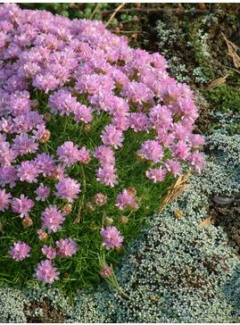 Armeria juniperfolia 'Bevan's Variety'