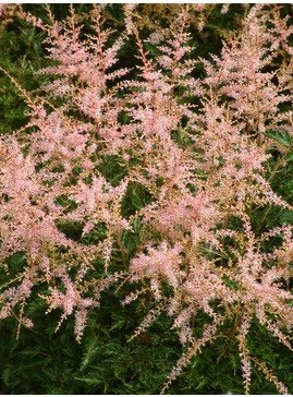 Astilbe 'Sprite' (simplicifolia hybrid)