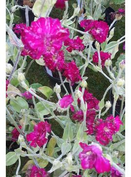Lychnis coronaria Gardeners' World = 'Blych'