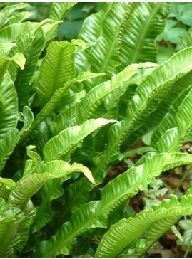 Asplenium scolopendrium Undulatum Group