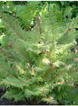 Polystichum setiferum Acutilobum Group