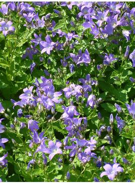 Campanula lactiflora 'Prichard's Variety'
