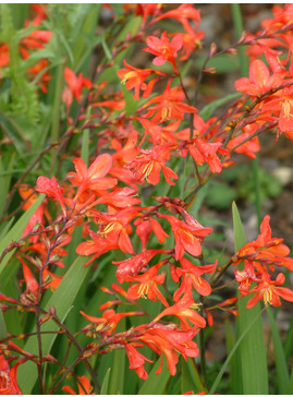 Crocosmia x crocosmiiflora 'James Coey'