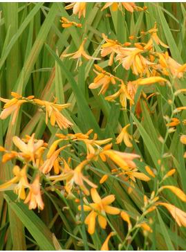 Crocosmia x crocosmiiflora 'Norwich Canary'